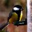 Great tit on the feeder Woodside Garden near Jedburgh