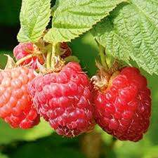 raspberries for sale