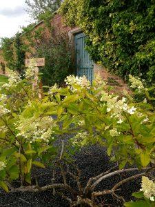 hydrangea at woodside