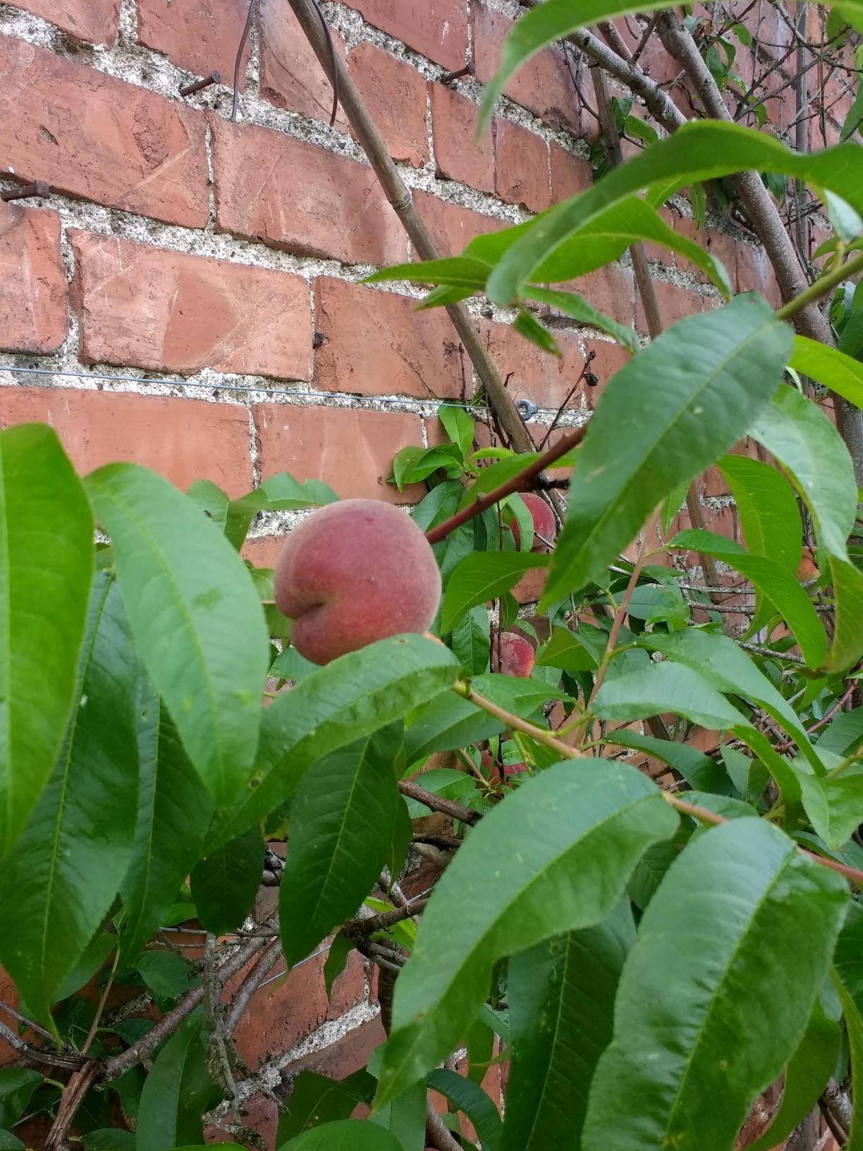 peaches in the walled garden