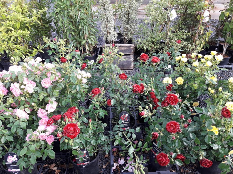 roses for sale at Woodside