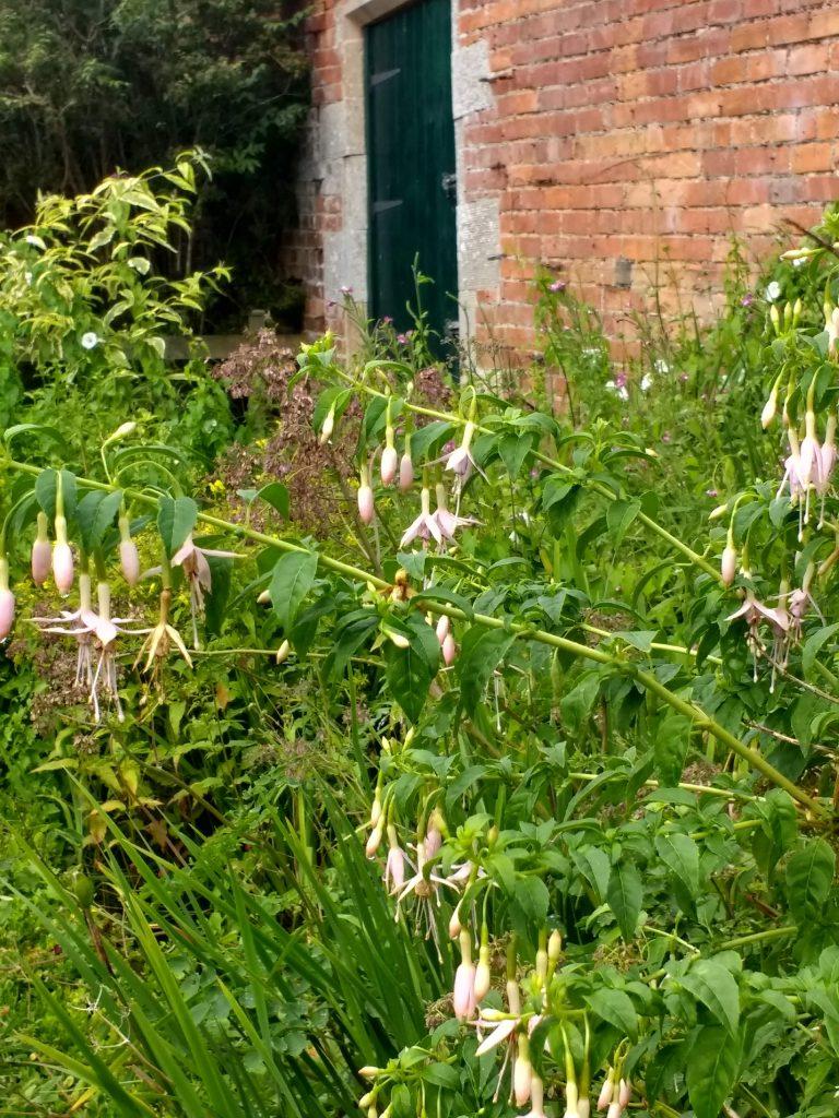 Fuschias in Woodside Walled Garden
