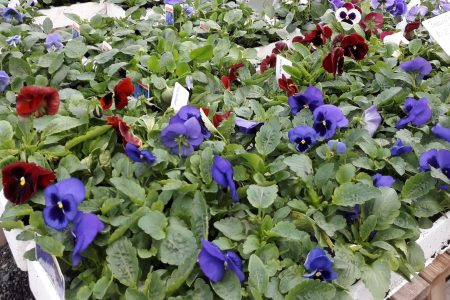 winter bedding plants