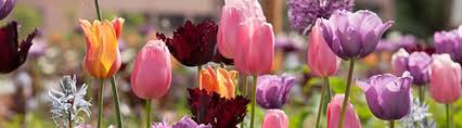 spring bulbs in flower