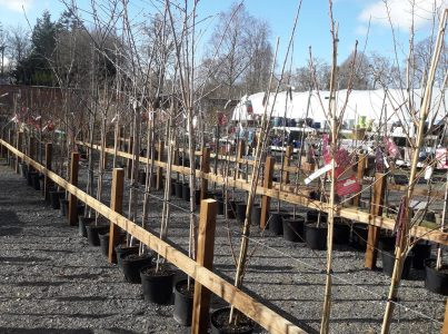 ornamental trees for sale