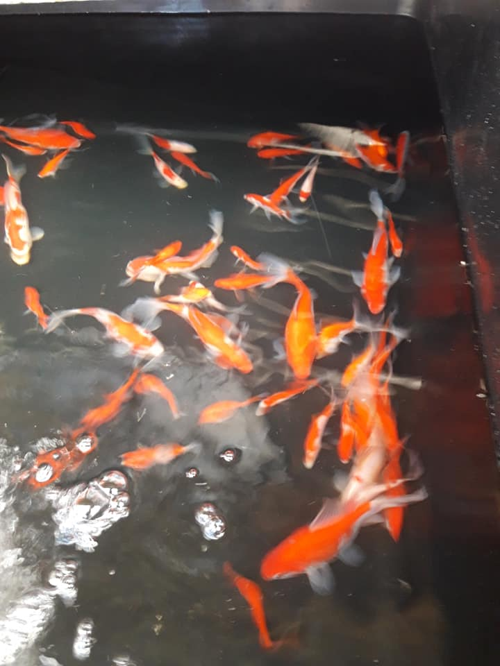 Pond supplies - ornamental fish