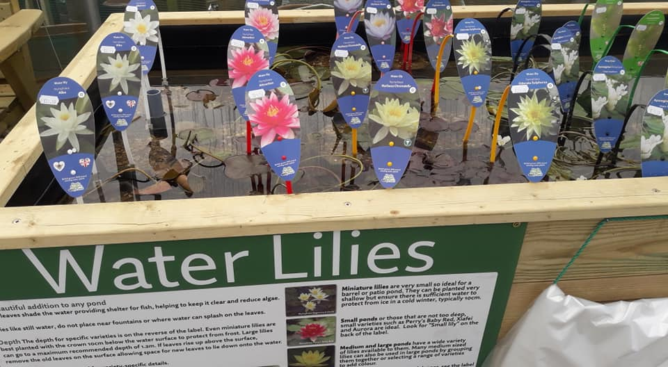 water lilies for sale